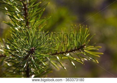 Pine Tree Nature Background. Pine Tree Leaves, Close Up. Nature Concept. Twig Of Young Pine. Pine Br