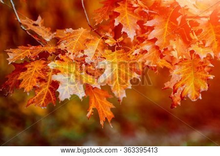 Autumn Leaves On The Forrest Trees. Natural Background