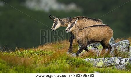 Vital Tatra Chamois Walking On Rocky Slope In High Altitude In Summer Nature.