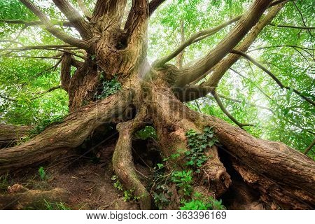 Impressively Shaped Tree Trunk And Roots With Green Foliage And Soft Light Rays Falling Through Its