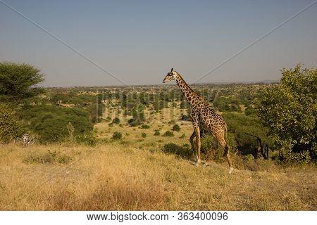 Beautiful Giraffe In Front Of Impressive Plainland
