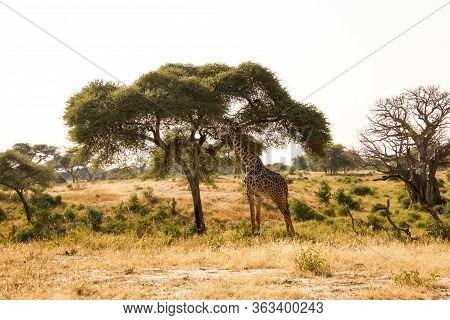 Beautiful Giraffe In Front Of A Baobab
