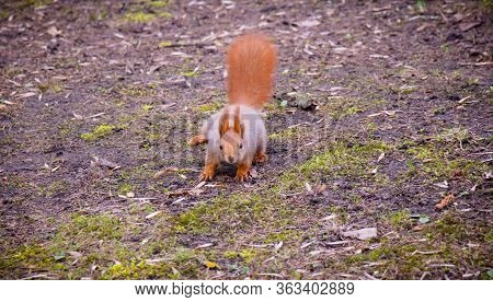 Red Squirrel Stands On Four Paws On The Ground And Looks At The Camera. Squirrel Runs Through The Sp