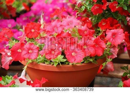 Petunia ,petunias In The Tray,petunia In The Pot, Mixed Color Petunia, Rose Shade