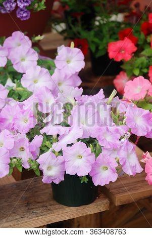 Petunia ,petunias In The Tray,petunia In The Pot, Lilac Color Petunia