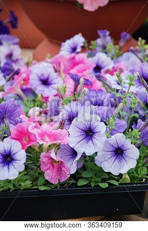 Petunia ,petunias In The Tray,petunia In The Pot, Mixed Color Petunia, Blue And Pink Shade.