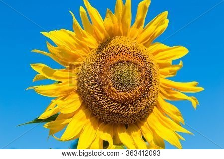 Helianthus Annuus, Blooming Common Sunflower. Single Flower Of A Sunflower Close-up On   Bright Blue