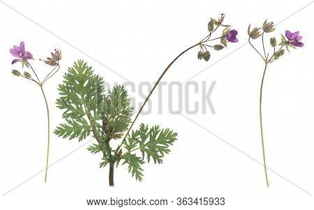 Pressed And Dried Flower Geranium (geranium Robertianum) On Stem With Green Leaves. Isolated On Whit