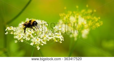 Bumblebee Close Up In Its Natural Habitat. Bumblebee Sitting On White Cumin Flower. Wide Angle Natur