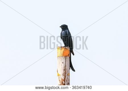 The black Drongo is a small Asian passerine bird