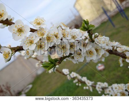 Cherry Plum Tree Blossoms Profusely White Flowers On A Branch