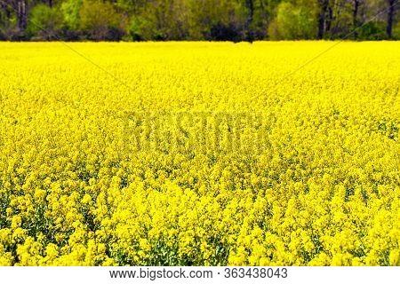 Yellow Blooming Rape Field In Spring In Germany