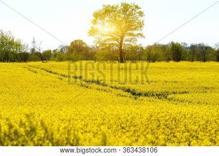 Yellow Blooming Rape Field In Spring In Germany