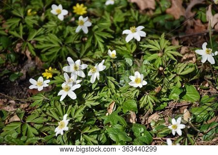 Group With Beautiful Blossom Sunlit Wood Anemones