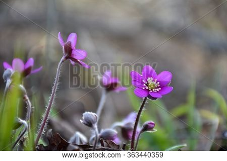 Beautiful Purple Hepatica Flowers Close Up In A Low Angle Image