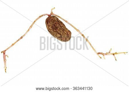 Old Germinated Yellow Potato Isolated On White Background. Big Sprouts