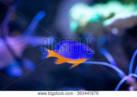 Azure Damselfish (chrysiptera Hemicyanea) On A Reef Tank With Blurred Background