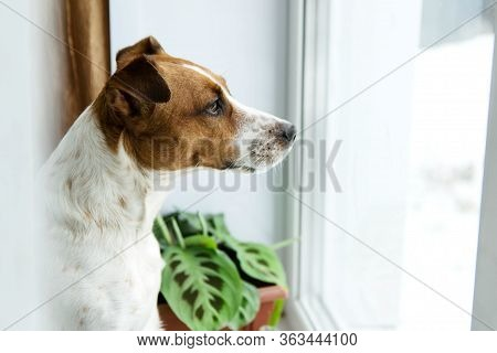 Dog Jack Russell Is At Home In Quarantine, Sad At The Self-isolation And Looks Out The Window, Waiti