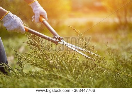 Hands Of Gardener In White Gloves Are Trimming The Overgrown Green Shrub Using Hedge Shears On Sunny
