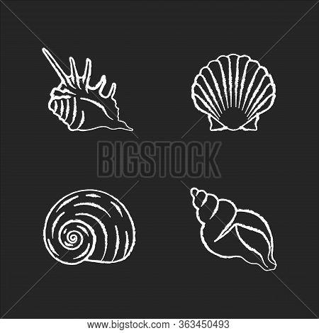 Exotic Sea Shells Chalk White Icons Set On Black Background. Molluscan Cockshells, Conchology Sea Sc