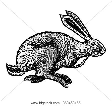 Wild Hare Or Rabbit Is Jumping. Cute Bunny Or Coney Runs Away. Hand Drawn Engraved Old Sketch For T-