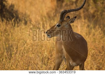 Attentive Gazelle In The African Steppe Ablazed In Golden Sunlight