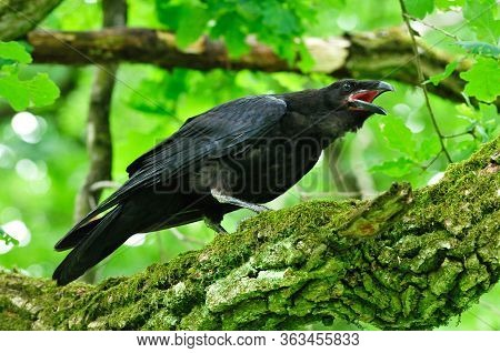 A Raven Croaks While Standing On An Oak Branch. The Common Raven (corvus Corax), Also Known As The N