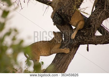 Lions On A Tree Somewhere In Africa