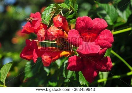 Campsis (trumpet Creeper, Trumpet Vine) Is A Genus Of Flowering Plants In The Family Bignoniaceae.