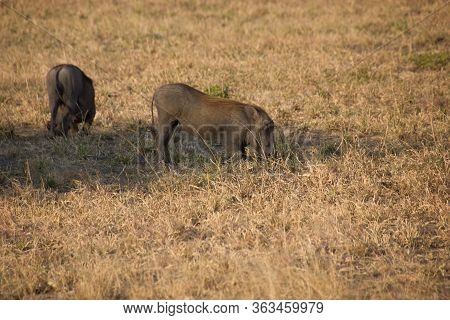Warthog In The African Savannah On A Sunny Day