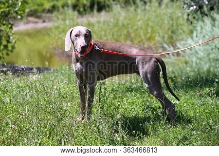 Weimaraner Vizsla Hunting Dog Canine In The Meadow On The Hunt