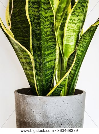 Close-up On The Beautifully Patterned Leaves Of A Snake Plant (sansevieria Trifasciata Var. Laurenti