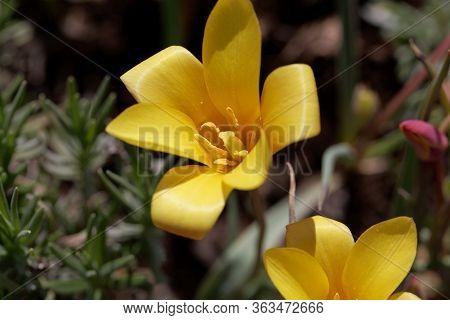 Flower Of A Lady Tulip, Tulipa Clusiana Var Chrysantha