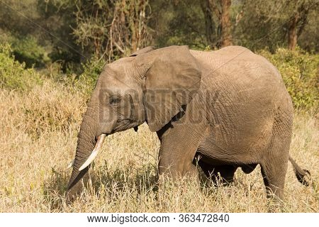 Beautiful Elephant Walking Around In The African Steppe