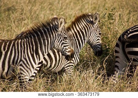 Close Up Of Zebras In The Savannah