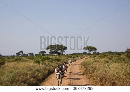 Zebras Walking On A Street In Africa