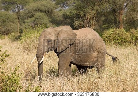 Elephant Walking Around In The African Steppe