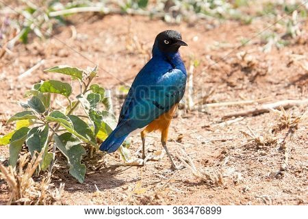 Beautiful Coloured Superb Starling In The African Steppe