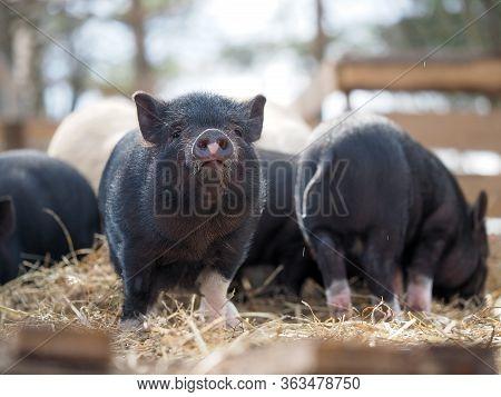 Vietnamese Black Pigs On A Farm Run. Little Pigs