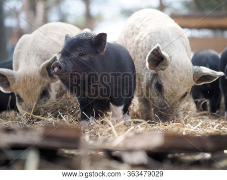 Joint Keeping Of Pigs Of Different Breeds