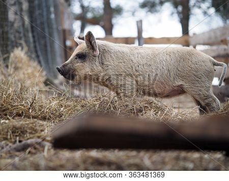 Shaggy Pig Of The Hungarian Mangalitsa Breed