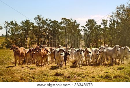 Australian brahman beef cattle line, red cows, grey cow, live animals on ranch poster