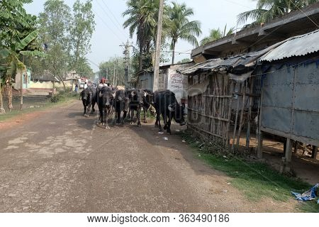 KUMROKHALI, INDIA - FEBRUARY 26, 2020: A herd of cattle being moved by a farmer, Kumrokhali, West Bengal, India