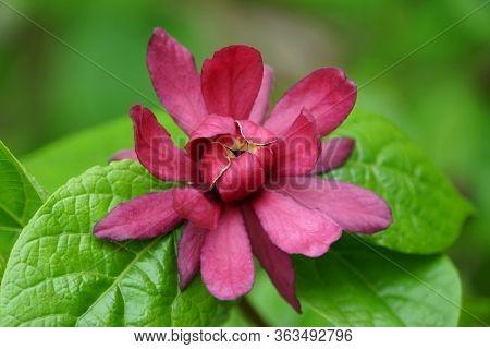 Carolina Allspice, A Native Deciduous Shrub With Dark Red Flower