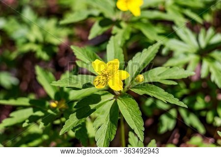 Plant Anemone Ranunculoides (yellow Or Buttercup Anemone) Blooming In April In Spring
