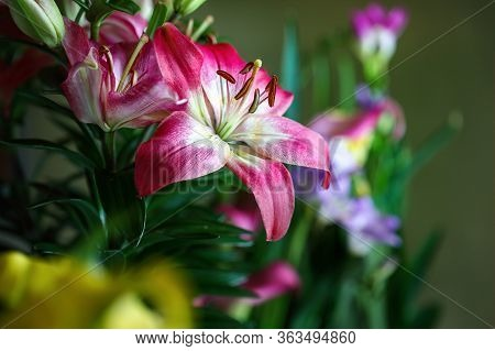 Pink And White Asiatic Lily, Lilium Auratum, Growing In A Beautiful Garden