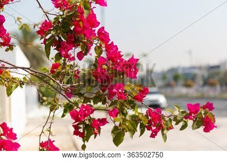 A Tree With Red Flowers In The City. A Branch With Vibrant Colors Hangs Over The Highway.