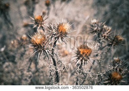 Dry Thorny Flowers, Close-up Photo With Soft Selective Focus