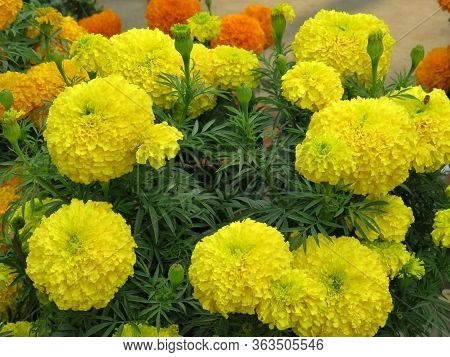 This Is Marigold Image, It Is Very Economical Flower Of India. Marigold Is One Of The Most Important