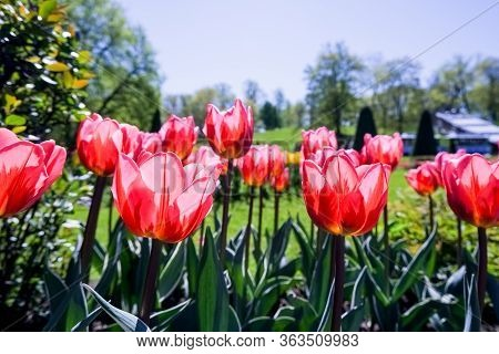 Bright Sunny Day In May With Tulip Field In Various Colors. Red Tulips In A City Park. Beautiful Tul